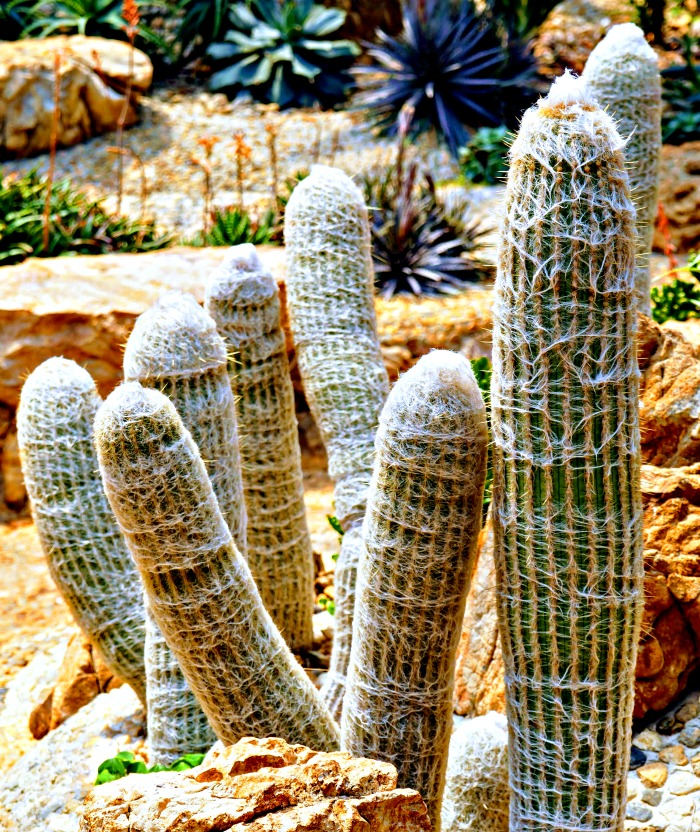 mature old man cactus growing in clumps.