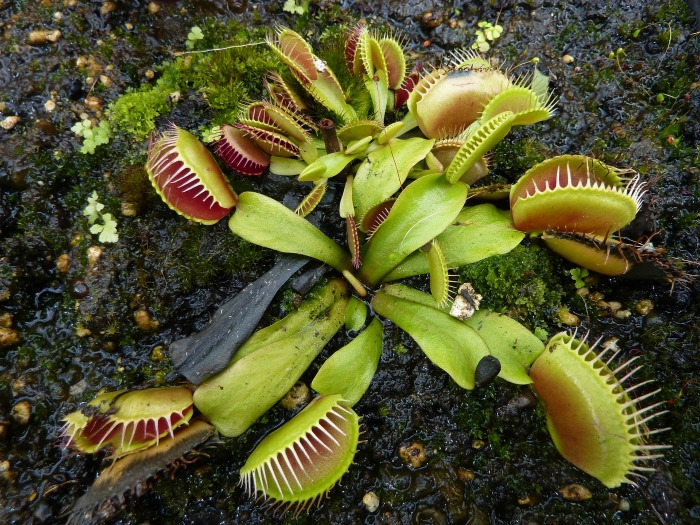 Venus Fly Trap is at the top of my list of scary Halloween plants