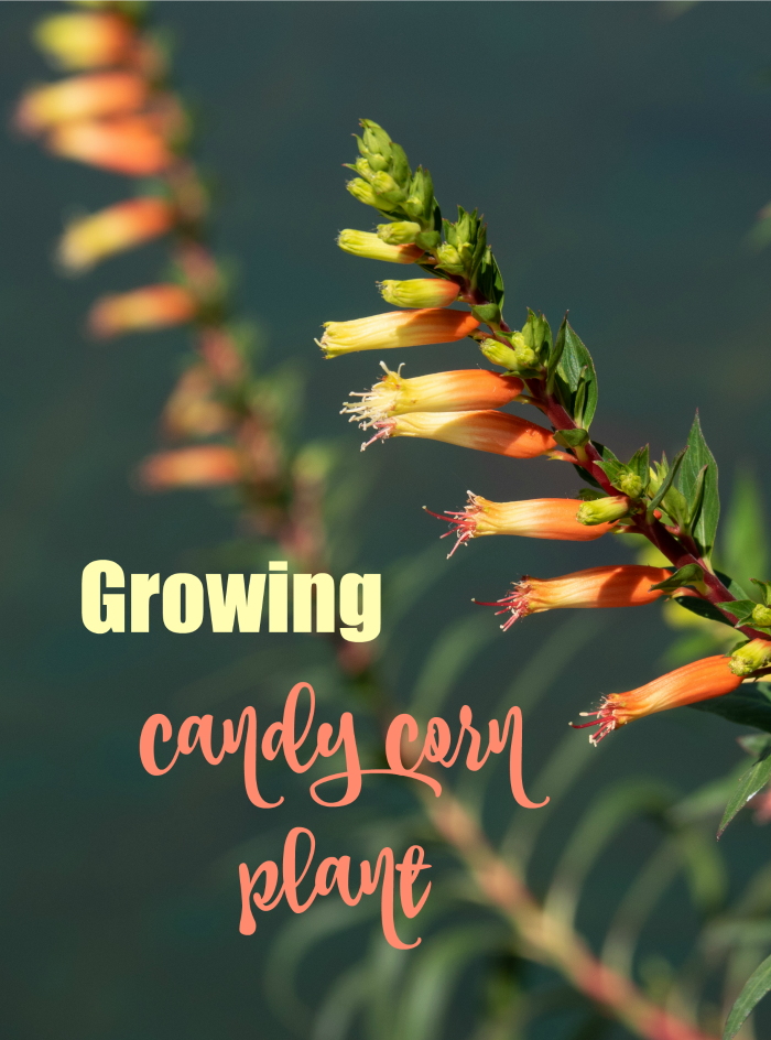 "Candy corn flower with text reading ""growing candy corn plant."""