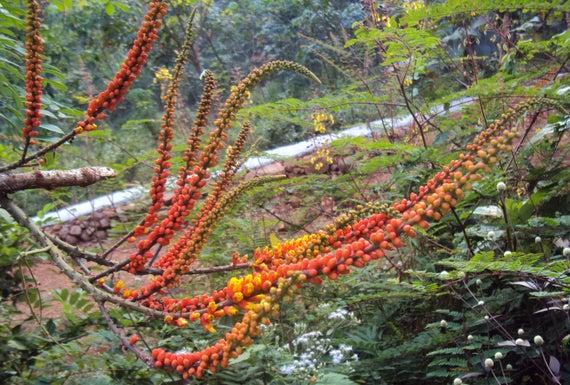 5 Moulova spicata seeds Candy Corn Plant Wagatea spicata | Etsy