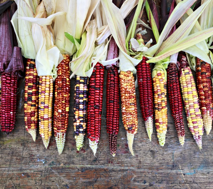 Ears of Indian corn in many colors.
