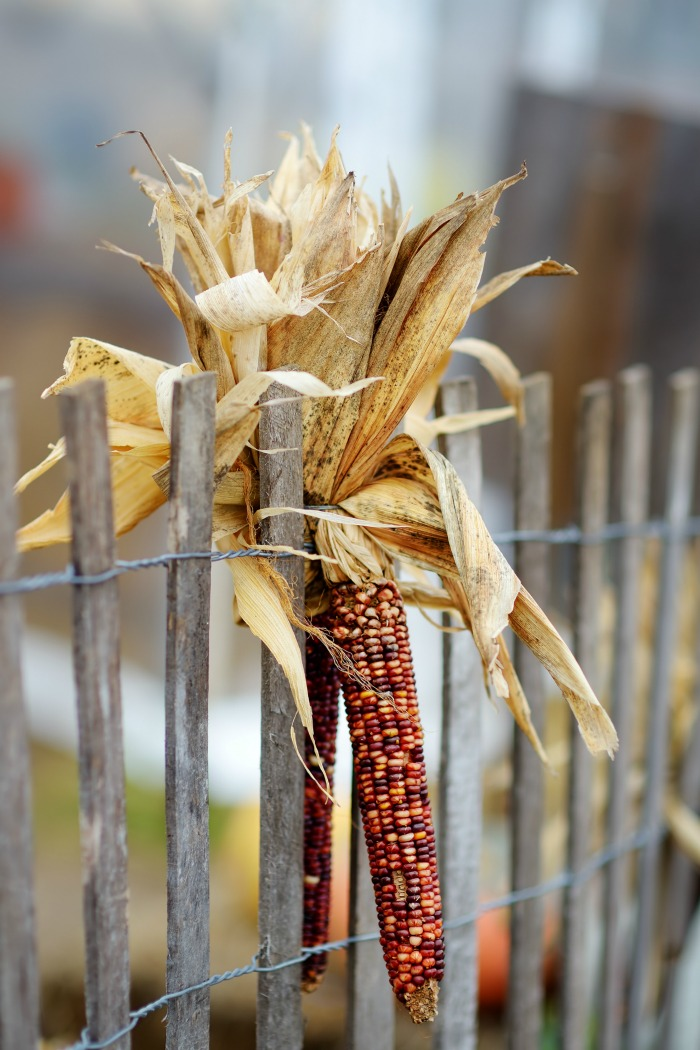 Picket fence decorated with Indian corn.