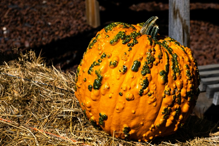 Pumpkin with mosaic virus on a bale of hay.