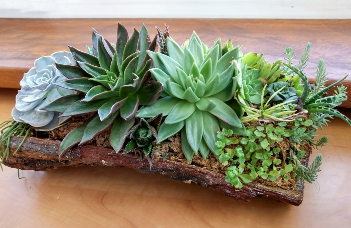 Pine bark planter with succulents