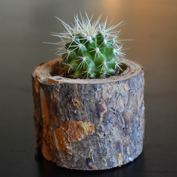 Cactus plant in a log planter.