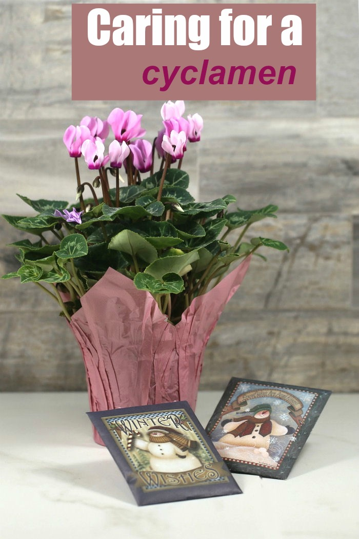 """Pink cyclamen with text reading """"caring for a cyclamen."""""""