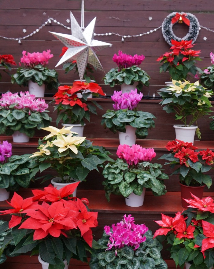 Selection of Christmas plants with star and wreath.