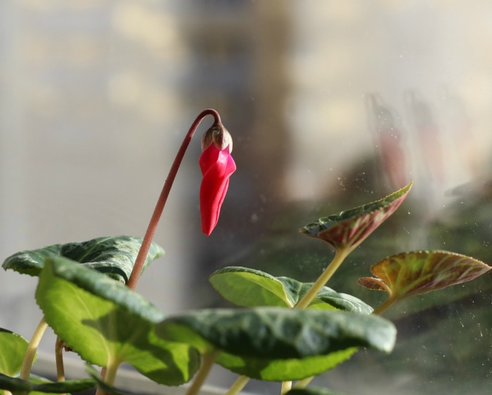 red bud of a cyclamen plant against a blurred window.