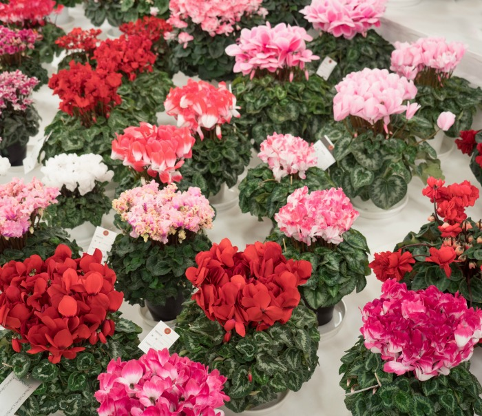 Cyclamen plants lined up