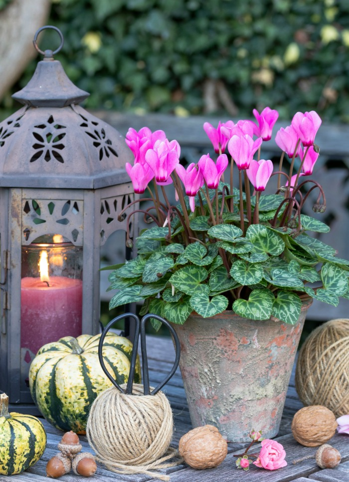 Cyclamen plant with pumpkins, lantern and rolls of jute.