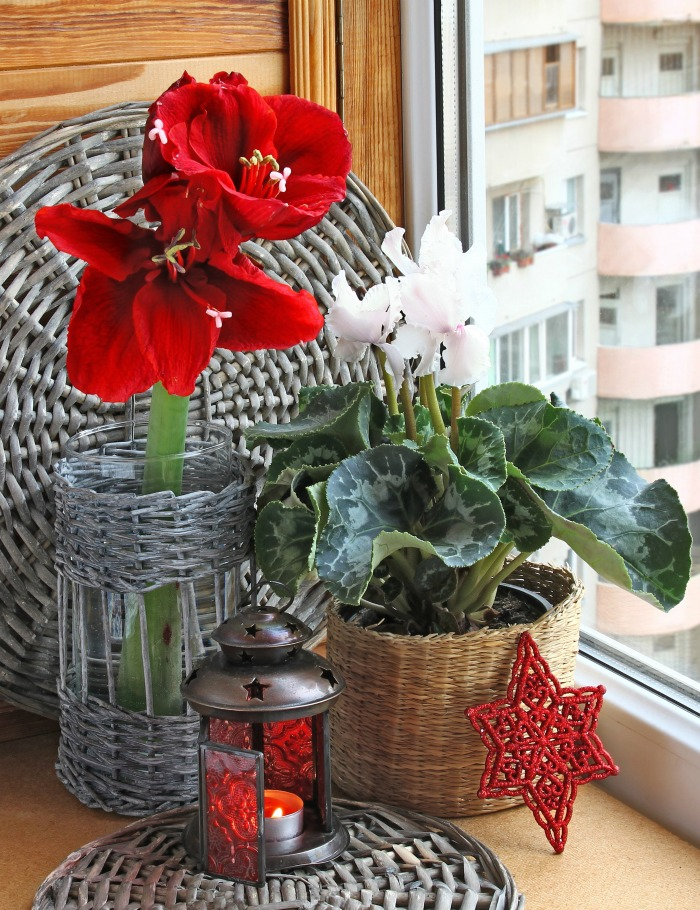 Cyclamen and amaryllis on a window sill in winter.