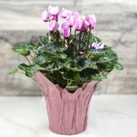 cyclamen persicum i a pot with a pink foil wrapper.