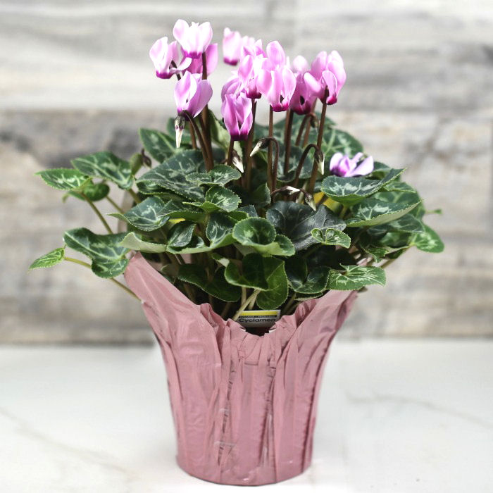 cyclamen persicum i a pot with a pink foil wrapper.