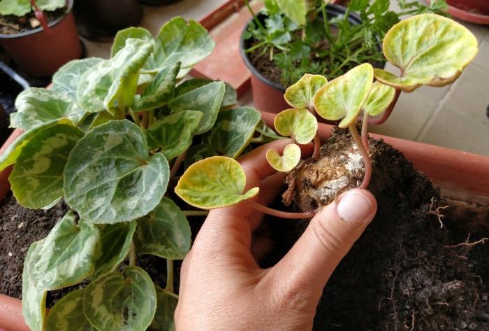 Girl holding a cyclamen seedling.