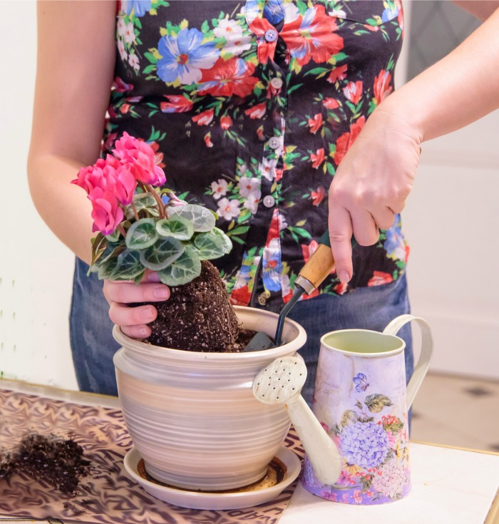 Woman in a flowered shirt putting a cyclamen in soil.