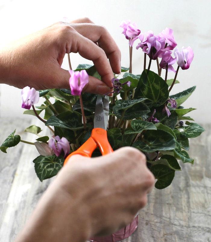 Female hands with scissors deadheading a cyclamen plant.