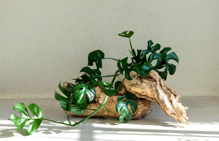Driftwood planter with monsteria plant