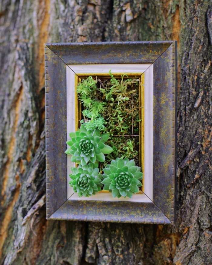 Picture frame with succulents attached to a tree.