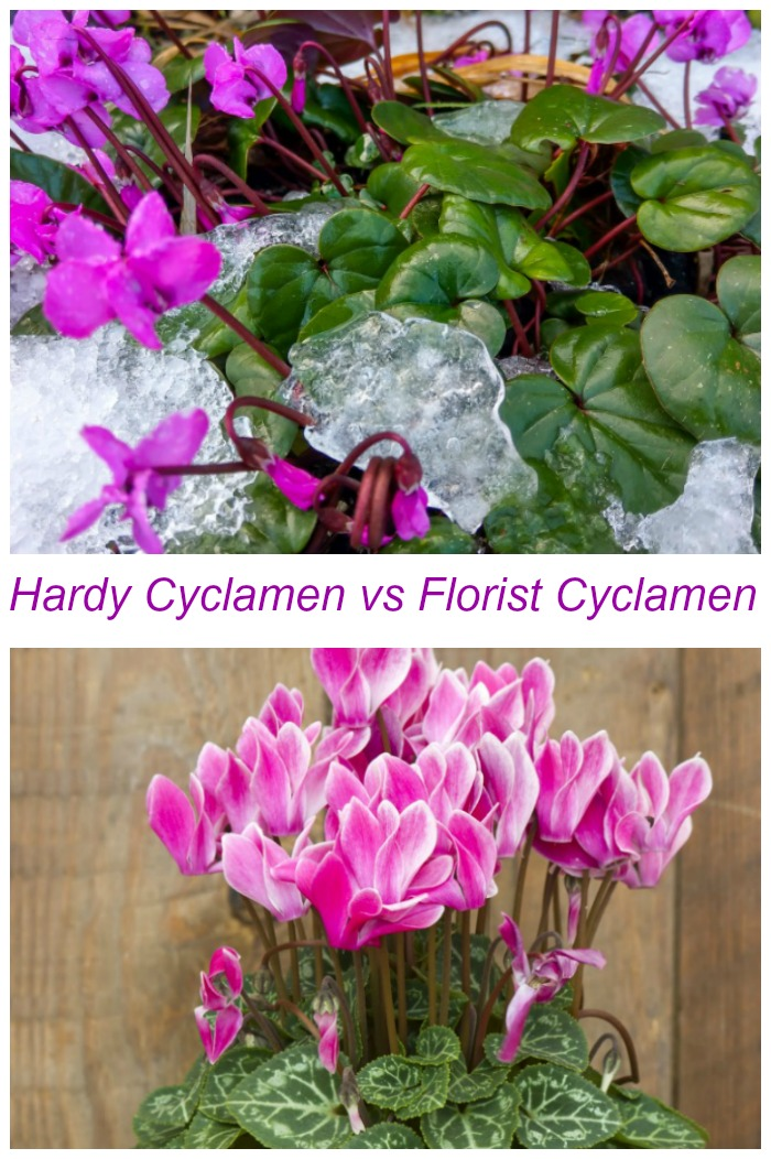"""Hardy cyclamen in snow and Florist cyclamen in a pot collage with text reading """"hardy cyclamen vs florist cyclamen."""