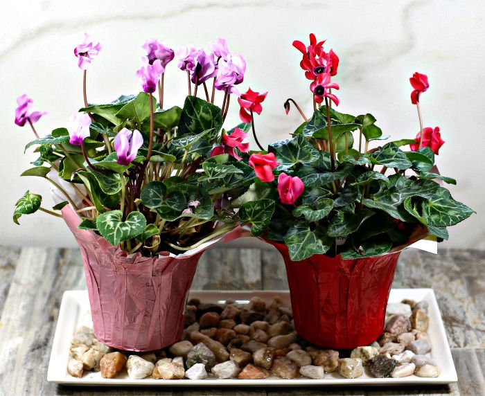 Tray with water and pebbles and two florist cyclamen plants