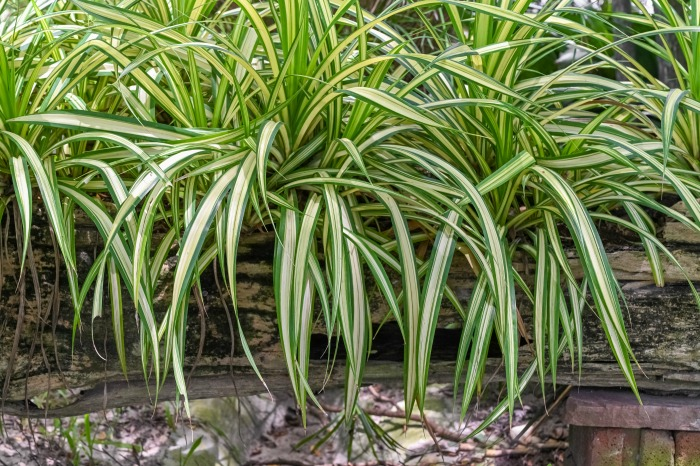 Spider plants in a log planter.