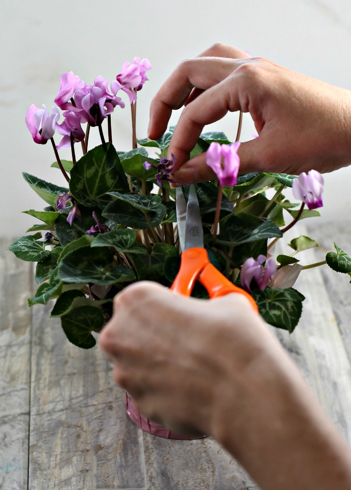 Female hands holding orange scissors to cut of dead blooms of cyclamen plant.