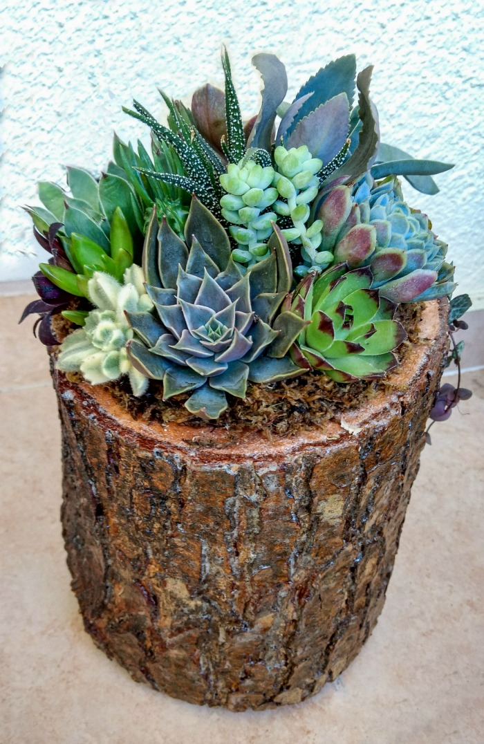 Upright log planter with succulent garden.
