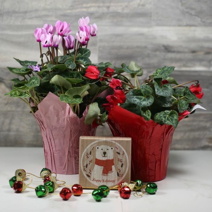 Florist cyclamen plants with Christmas decorations.