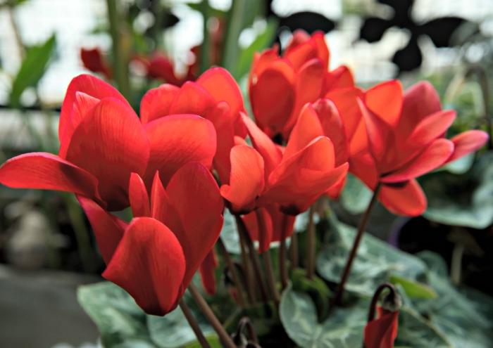 Red cyclamen flowers above green heart shaped leaves.