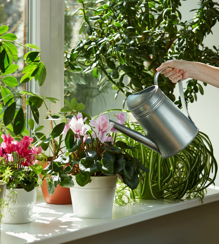 Girl watering a cyclamen and other plants on a window sill.