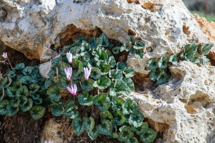 Wild cyclamen growing in rocks.