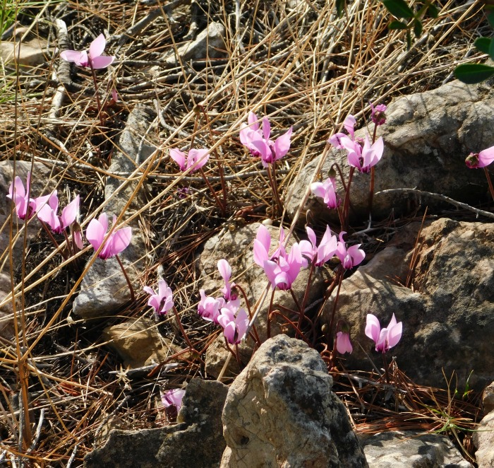 Wild cyclamens growing near rocks