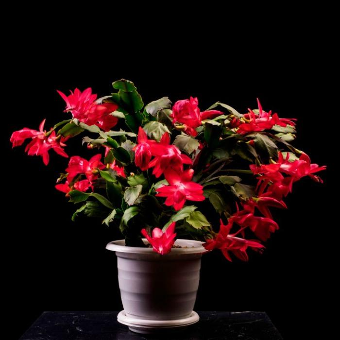 Red crab cactus in flower.