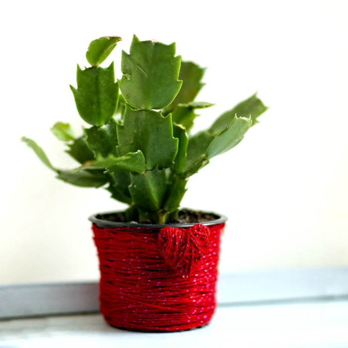 Thanksgiving cactus in a red yarn pot.