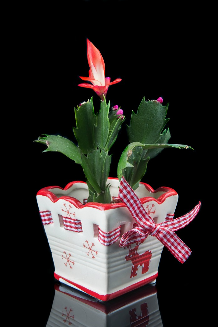 thanksgiving cactus with snowflake pot and red blooms.