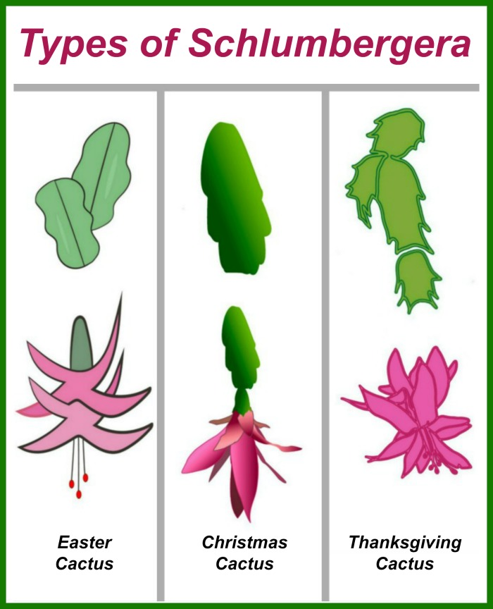 "Three leaf cacti with words at the top reading ""types of schlumbergera."""