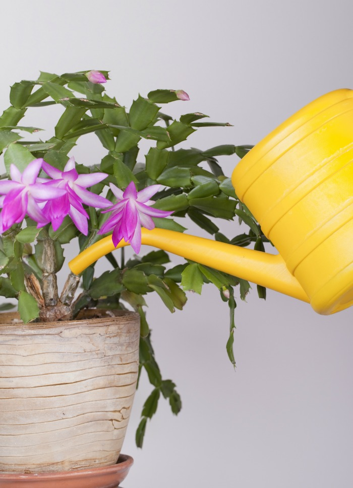 watering a crab cactus with a yellow watering can.