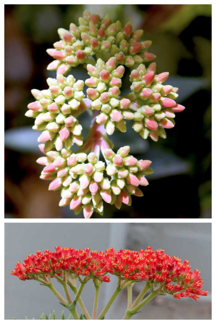 Closed buds and open flowers of propeller plant.