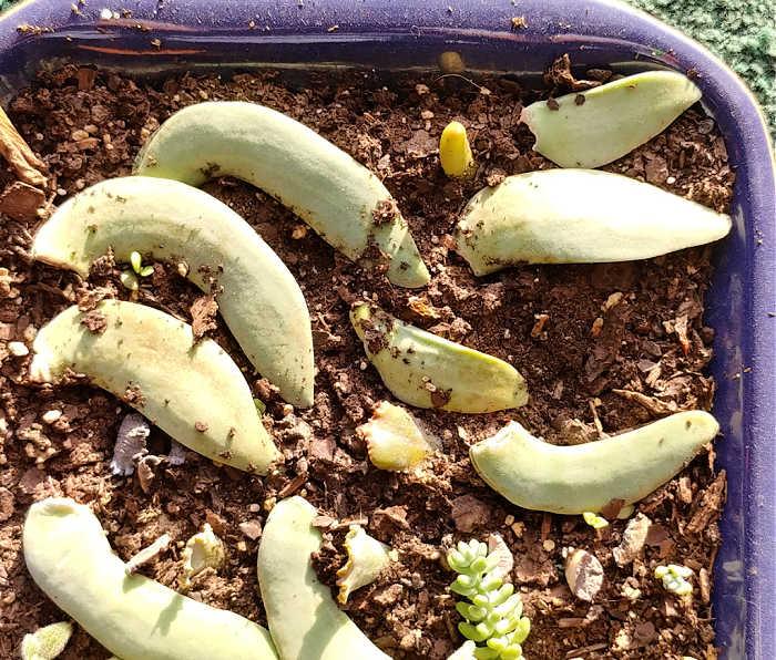 Leaves of a crassula falcata in a propagation tray.