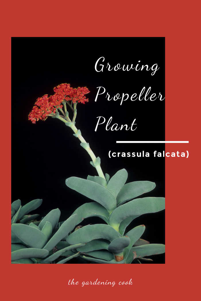 Propeller plant in flower with text reading Growing propelleler plant (crasssula falcata.).