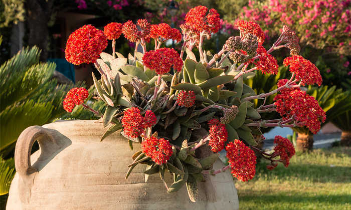 Propeller plant with red flowers in a crock urn.