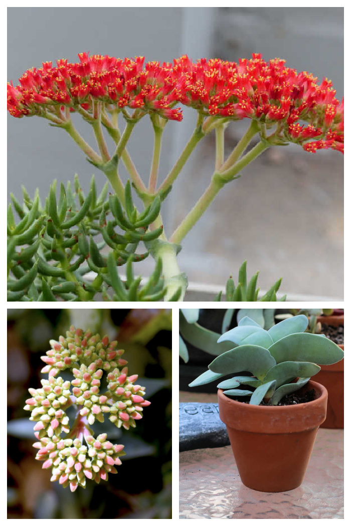 Red flowers, flower buds and propeller plant in a collage.