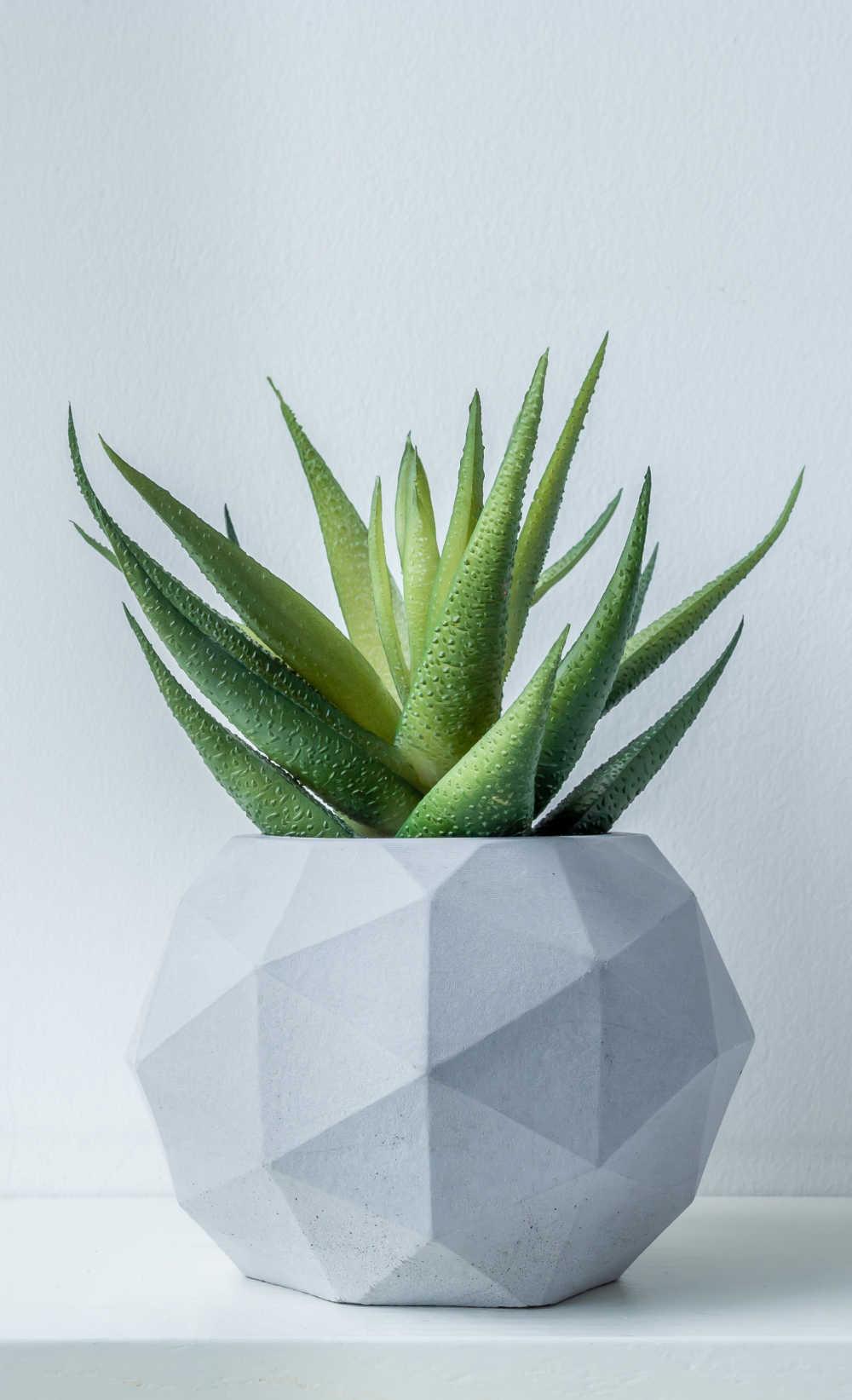 Aloe vera plant in a white pot.