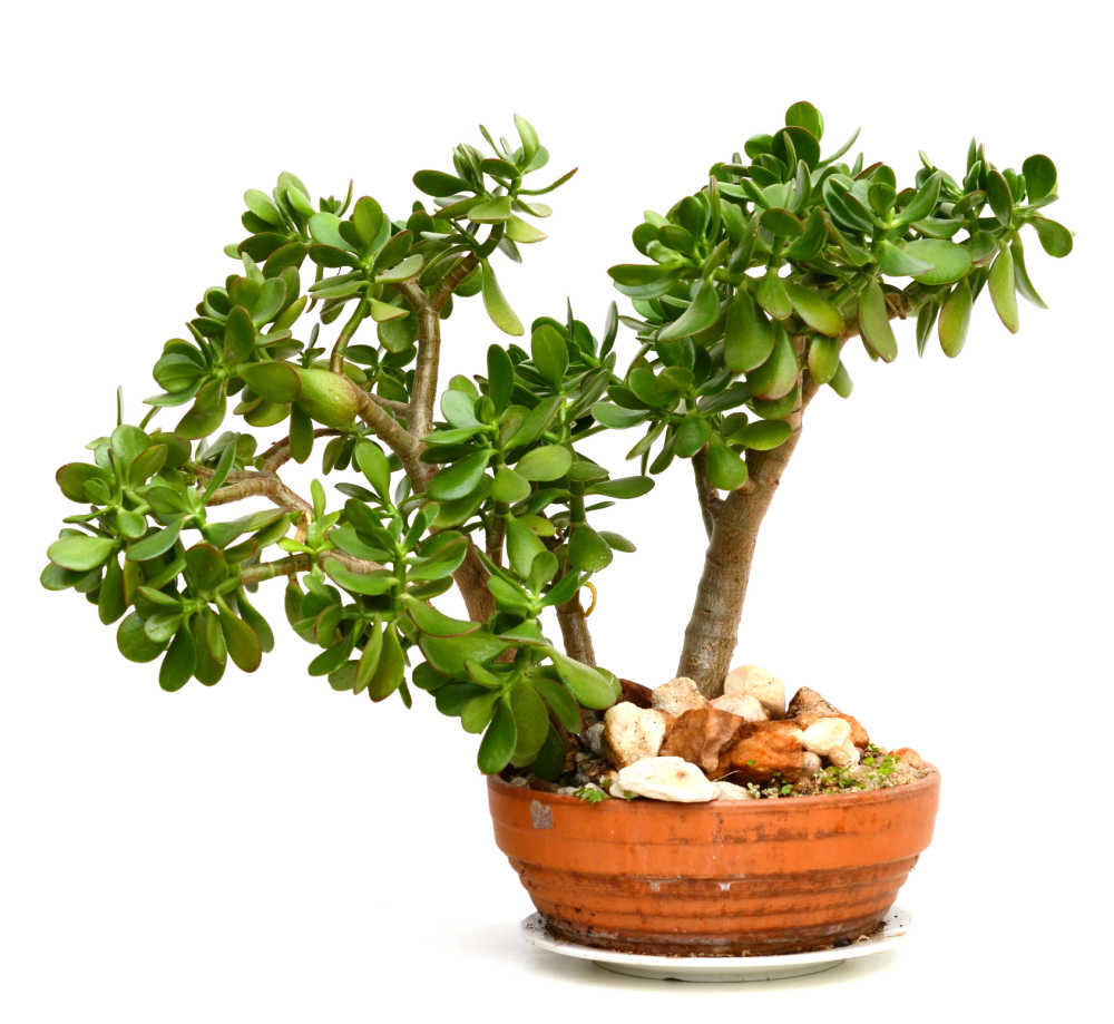 Lucky plants - jade plant in an orange pot with rocks.