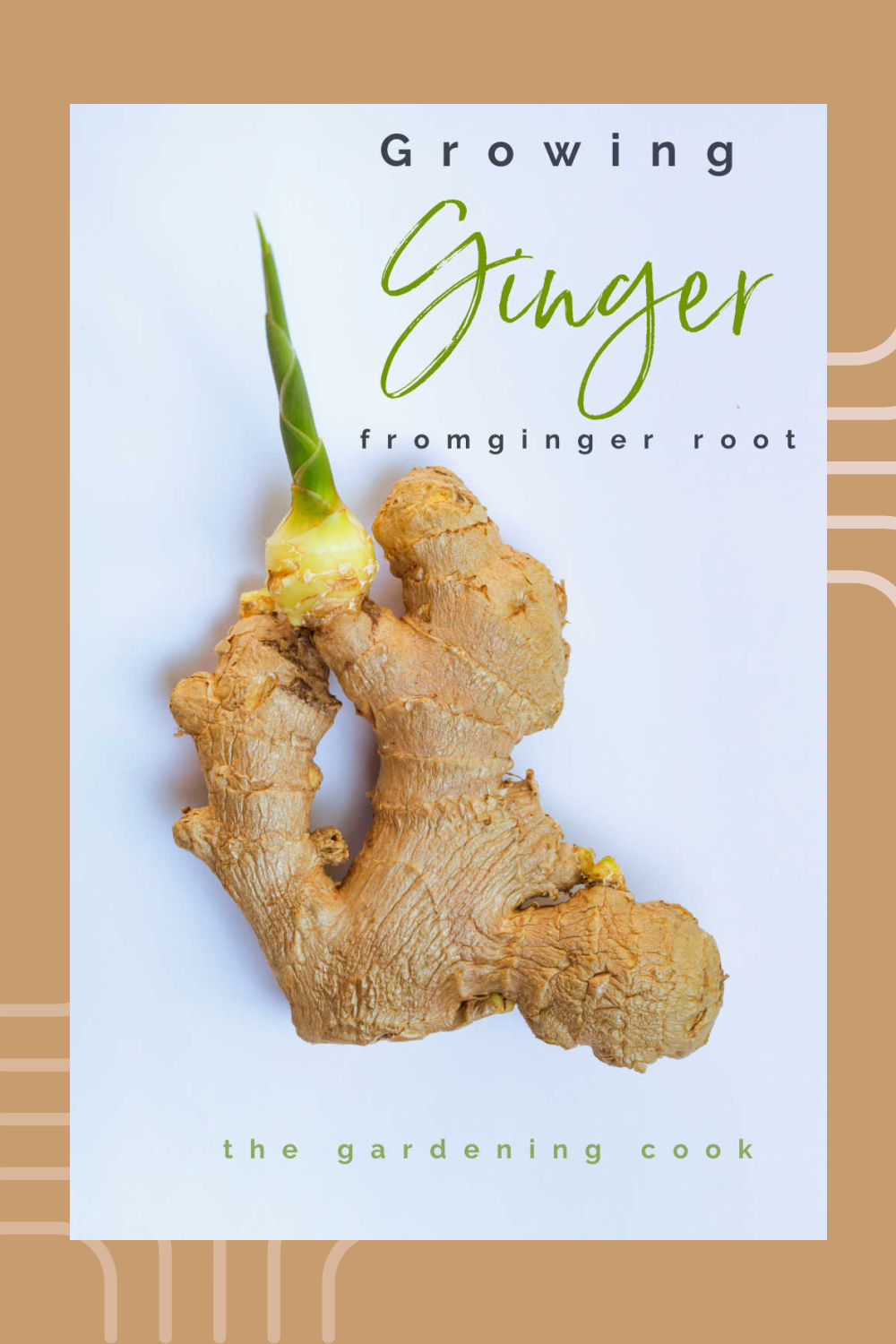 "Sprouted ginger on a beige backgroiund with words reading ""Growing ginger from ginger root."""