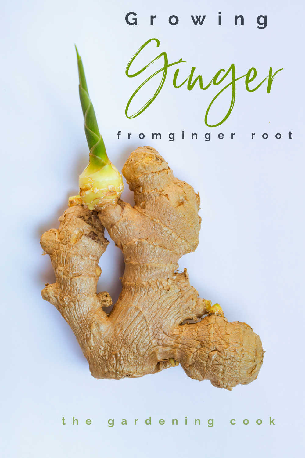 "A piece of sprouted ginger with words reading ""growing ginger from ginger root."""