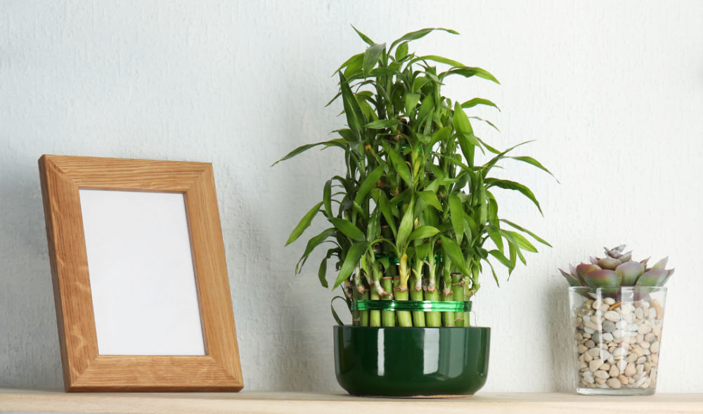 Lucky bamboo plant with a picture frame and succculent pot.