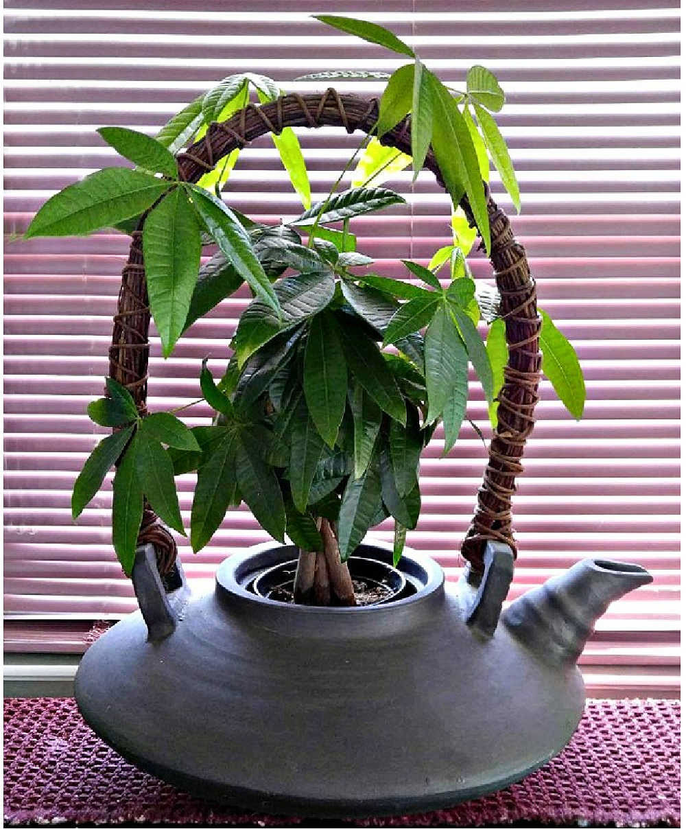 Braided money tree plant in a large jug planter in front of a pink shade.