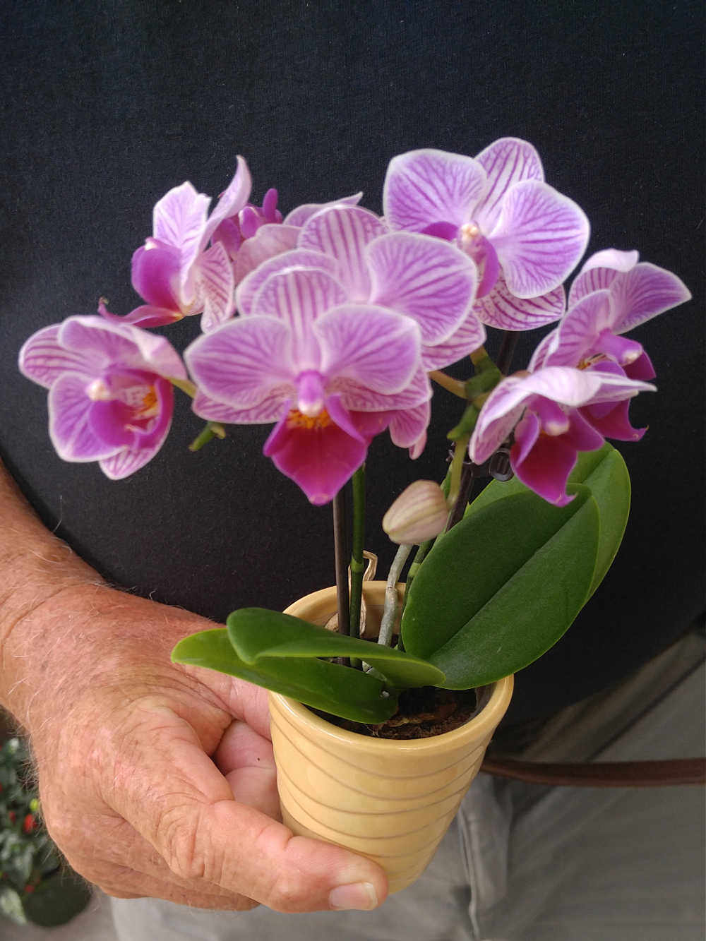 Phalaenopsis Orchid in a pot with a hand.