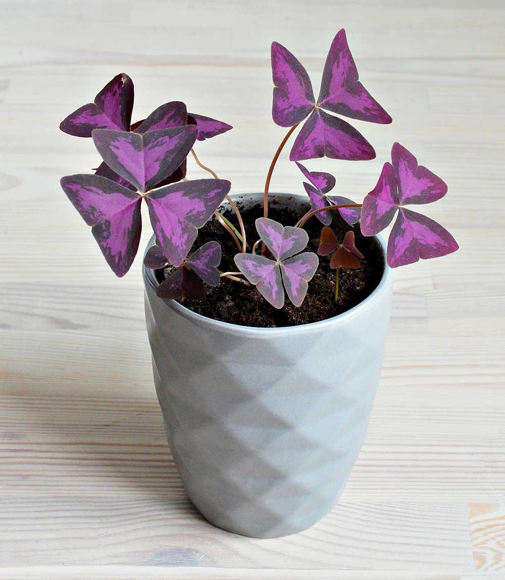 Purple oxalis plant in a white pot.